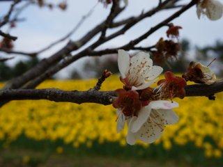 Bông hoa anh đào đỏ trắng này trông mạnh mẽ nhưng lại trở nên mỏng manh trước phông nền là cánh đồng hoa thủy tiên vàng rực