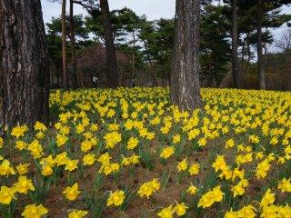Hàng trăm bông hoa thủy tiên bao quanh cây cổ thụ lại mang đến một khung cảnh nên thơ, nhẹ nhàng