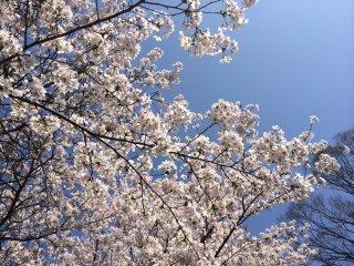 Sakura with blue sky
