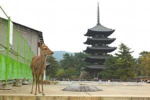 กวางและเจดีย์ของวัดโคฟุคุจิ สัญลักษณ์แห่งเมืองนารา