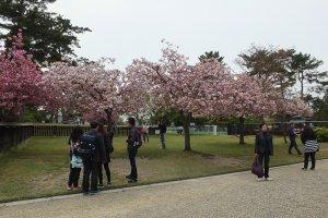 มีสวนซากุระด้วย