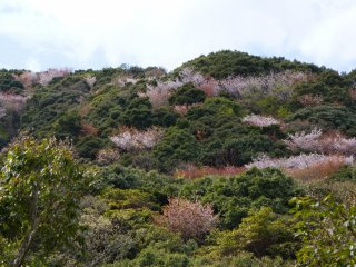 It was already past the main cherry blossom season (between early February and early March in Southern Izu); however, a few trees higher up in the surrounding hills were still showing some nice colors.