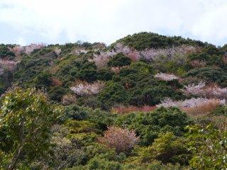 이미 주된 벚꽃 시즌(2월 초부터 3월 초까지)이 지났지만, 주변 언덕 위에 있는 몇 그루의 나무들은 좋은 색상을 볼 수 있었다