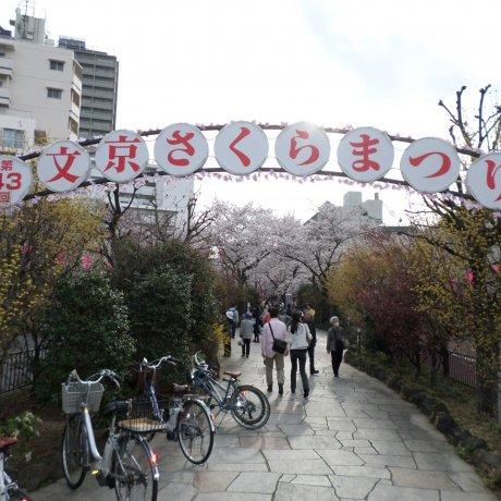 เทศกาลดอกซากุระที่บุงเกียว โตเกียว
