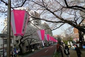 Pink lanterns line the Bunkyo Cherry Blossom Festival.