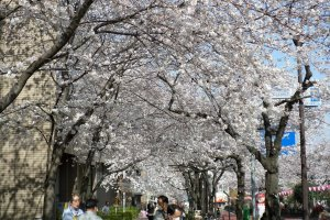 The sidewalks are also lined with dozens of cherry blossom trees.
