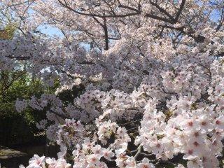 Lebih dekat dengan sakura