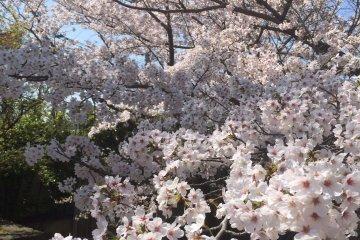 <p>A close-up look at&nbsp;sakura</p>