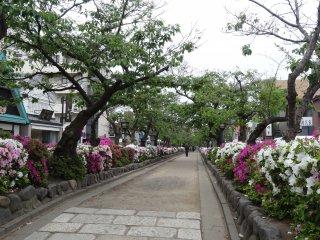 ทางเดินดังคะซุระเต็มไปด้วยดอกอะซีเลีย