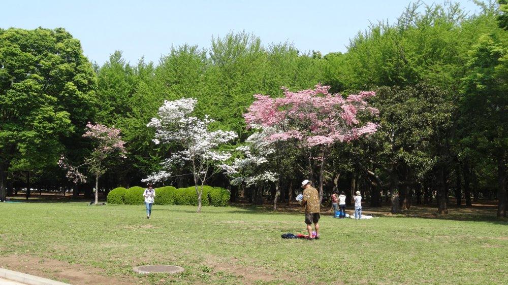 ต้น Dogwood ออกดอกเต็มต้น มีทั้งสีขาวและสีชมพู