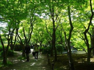 สวนเมเปิลญี่ปุ่น