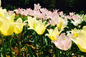 A sea of yellow and pink tulips in the Four Seasons Garden
