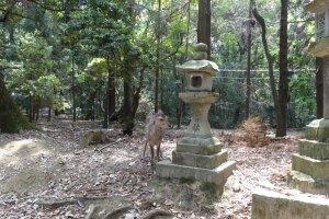 กวางและโคมไฟหินเก่าแก่ที่ศาลเจ้าคะสึกะ ไทฉะ (Kasuga Taisha)