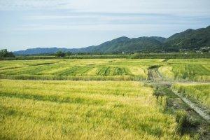 Vast fields of gold along the train ride from Fukuchiyama Station to JR Kyoto Station.