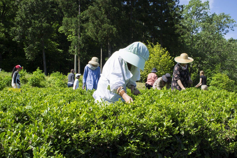 Seorang wanita paruh baya yang memetik daun teh dari pohonnya.