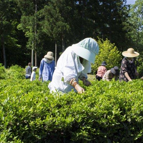 연간 아지마노 차 수확 행사