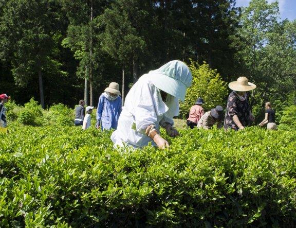 味真野一年一度的採茶祭