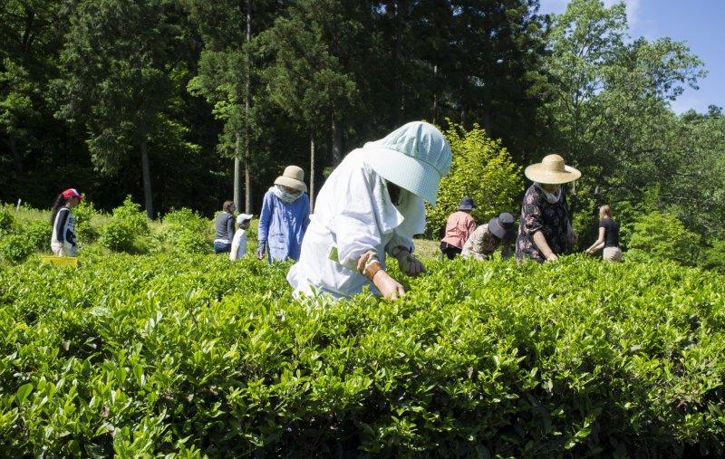 Пожилая женщина собирает чайные листья на плантации