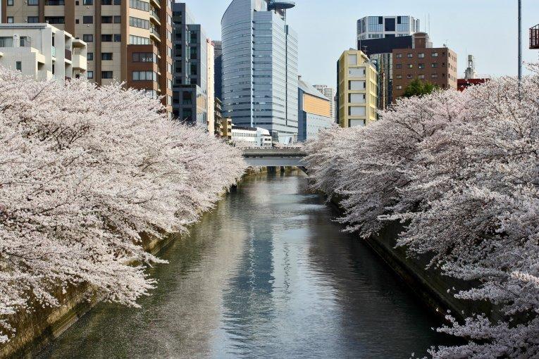 Hoa anh đào ven bờ sông Meguro