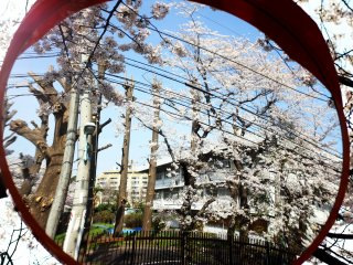 Reflection of the city and sakura (cherry blossoms), merging harsh buildings with natural beauty.