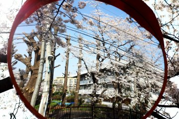 <p>Reflection of the city and sakura (cherry blossoms), merging harsh buildings with natural beauty.&nbsp;</p>