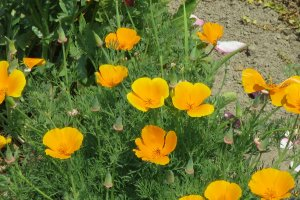 This yellow California Poppy was introduced to Japan in the middle of the 19th century
