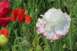 Beautiful white poppy with pink fringe