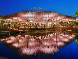 Night-time illumination of the wisteria reflected in the waters below. It is amazing to see how elaborate the support structure is built for the trees at Ashikaga Flower Park, for the bloom which only lasts a couple of weeks every year during the months of April and May.