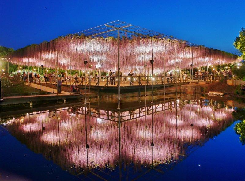 Ночная подсветка глицинии отражается в воде. Просто удивительно, как тщательно сооружена опорная конструкция для деревьев в цветочном парке Асикага только ради сезона цветения, которое длится всего пару недель в году с апреля по май.