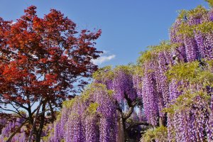 Daylight beauty of the wisteria. The entrance ticket fee for Ashikaga Park depends on the season and the stage of the bloom. Expect the rate to be between 700 yen and 1600 yen. Golden Week (first week of May) is the best time for the wisteria bloom and that comes with the highest entrance fee.