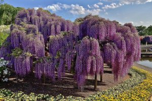 A horizontal panoramic view of a large wisteria tree in the park
