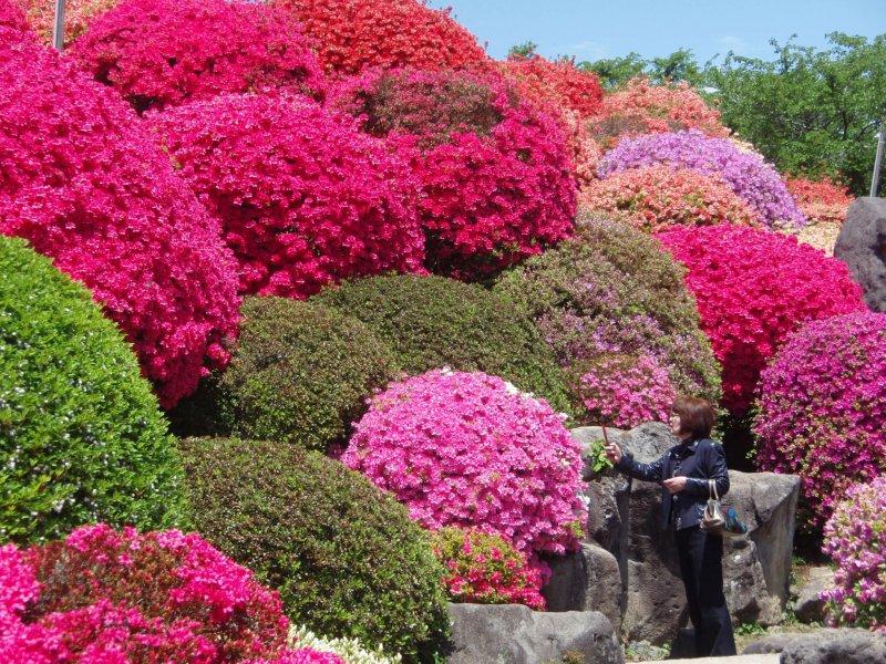 <p>Tiers of azaleas at Tsurumine Park</p>