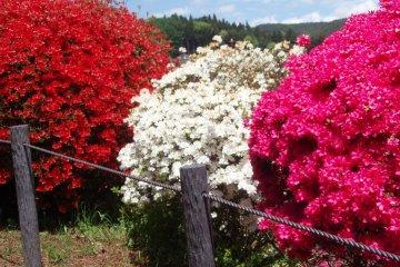 <p>Red, white, and orange color azaleas</p>