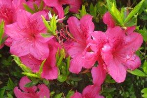典型的なツツジの花
