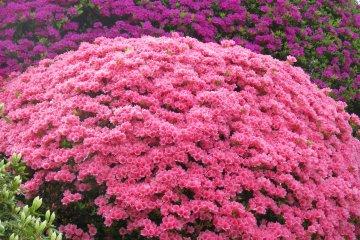 <p>Azalea bushes are arranged in round shapes</p>