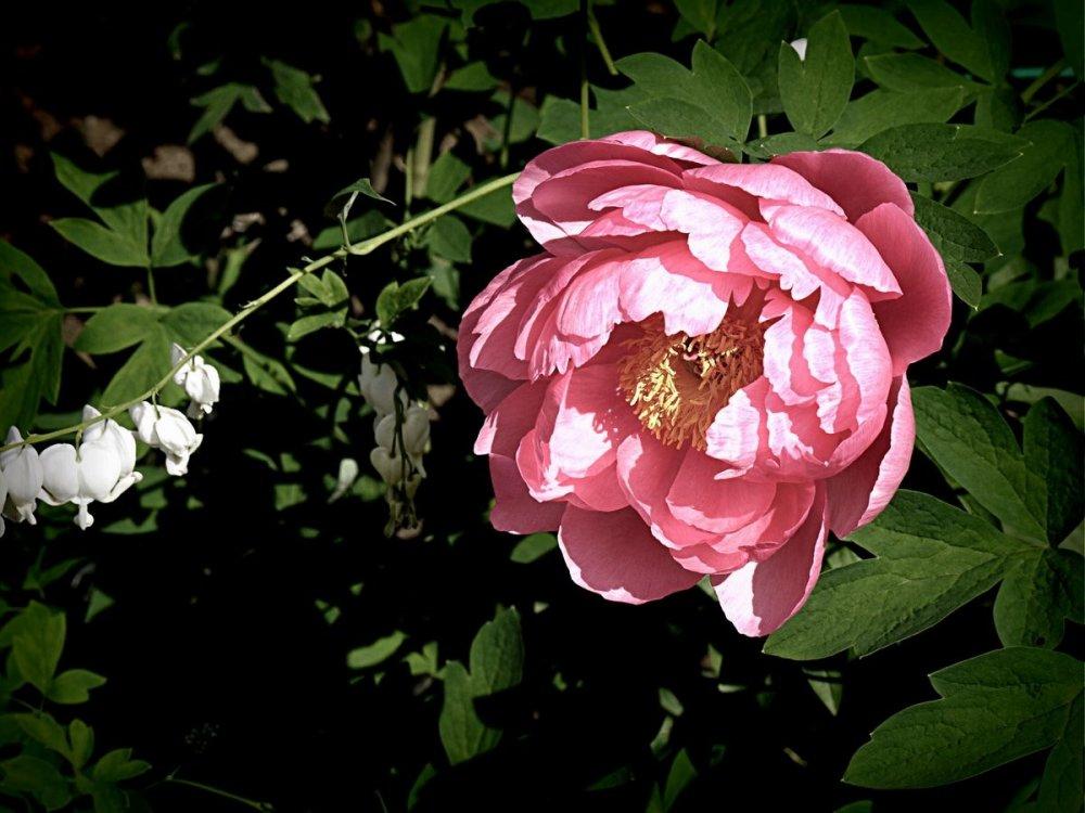 Những bông mẫu đơn hồng