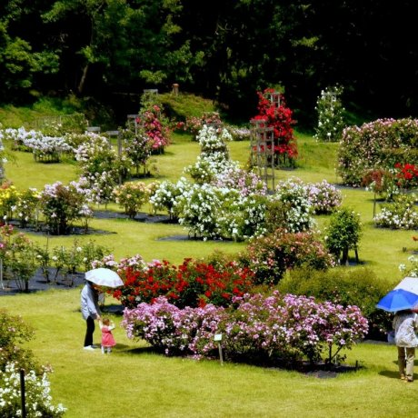 노즈타 공원의 장미 광장