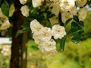 이 하얀 장미들은 천국의 냄새가 났다