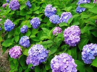 アジサイは、6月の梅雨の季節をパッと明るくするのに大活躍!