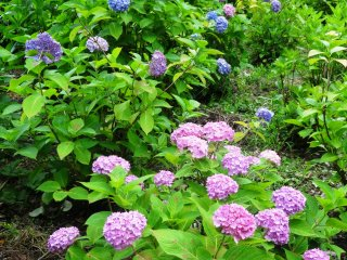 花々の色は、深紫から明るいピンクや白まで様々