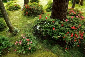 Azaleas in the moss carpeted garden