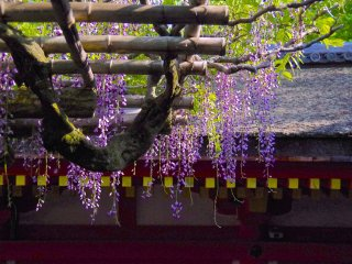 Wisteria at the precincts