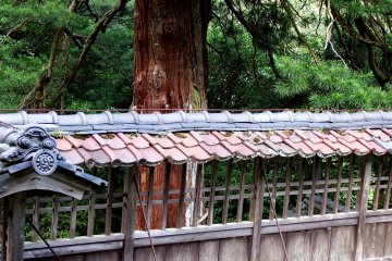 <p>600-year-old umbrella pine and the shaded roof tiles</p>