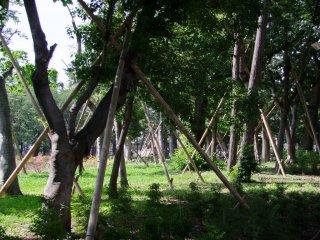 Подпорки для древних дерев