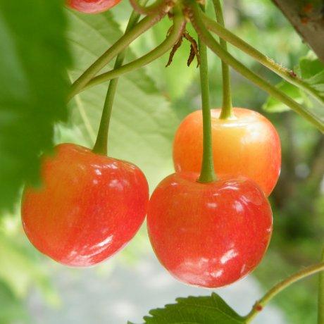 Memetik Ceri di Kebun buah Tendo
