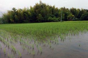 この農場は無農薬栽培なので、カエルや昆虫、鳥たちが水の溜まった水田の中で生活している