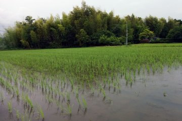 <p>No chemicals are used on the farm, so you will find frogs, insects, and birds living inside the flooded rice fields</p>