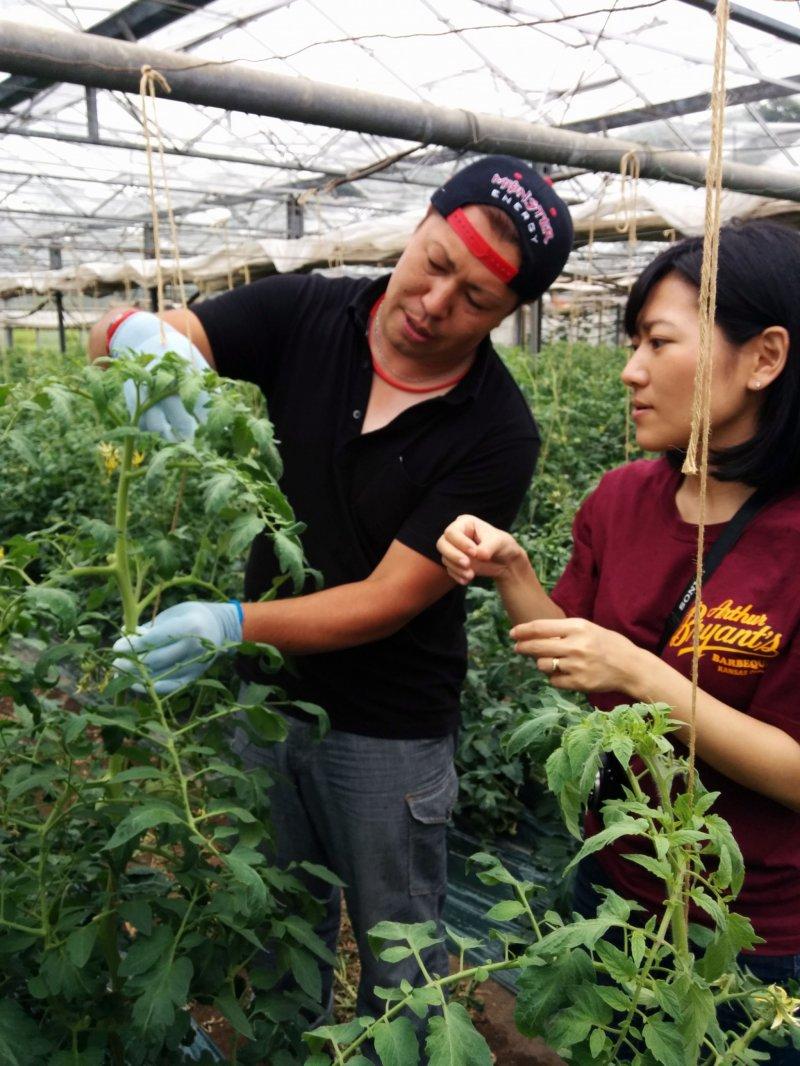 <p>Naga-san explains how we should straighten the vines of the tomato plants</p>