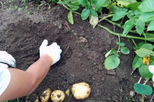 じゃがいもを掘り起こすのは、地中に埋まった宝物を掘り出すのに似ている