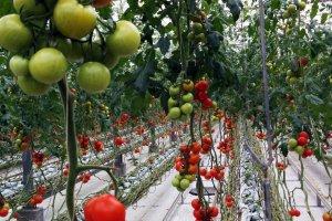 いわき市の「とまとランド」。同じ蔓に育つトマトでも生育状態は異なる